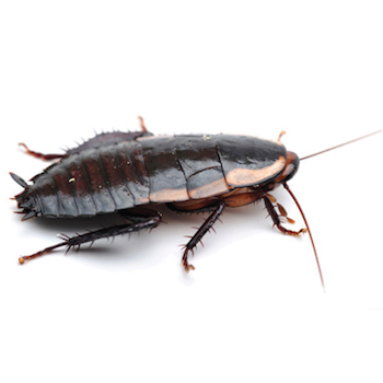 How to get rid of cockroaches – Recommended in NZ