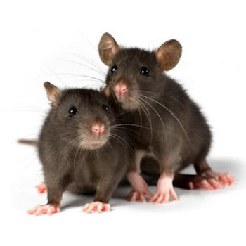 Time to stop rats and mice pestering you this winter